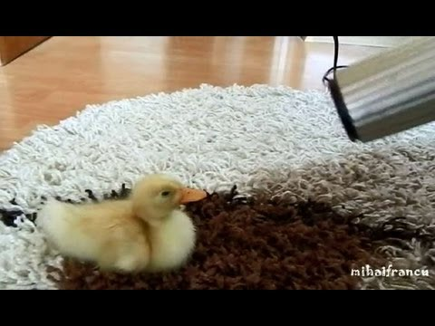 I Are Cute Duckling AWW – Funny Baby Duck Animal
