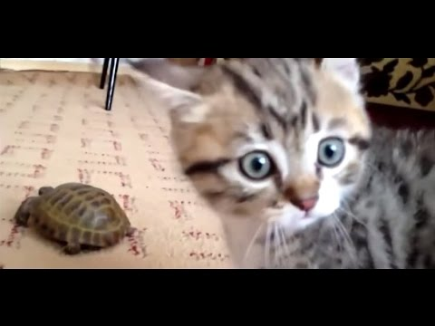 Cracking Funny Cats Video – ep3 – The Kitten Turtle Incident