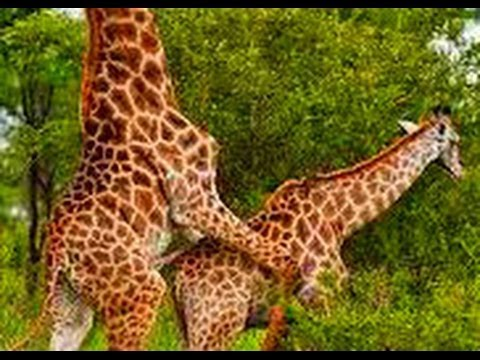Giraffes Humping | Giraffe Mating Funny Animals